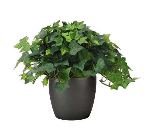 Algerian Ivy Green