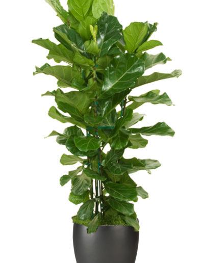 Ficus Lyrata Column