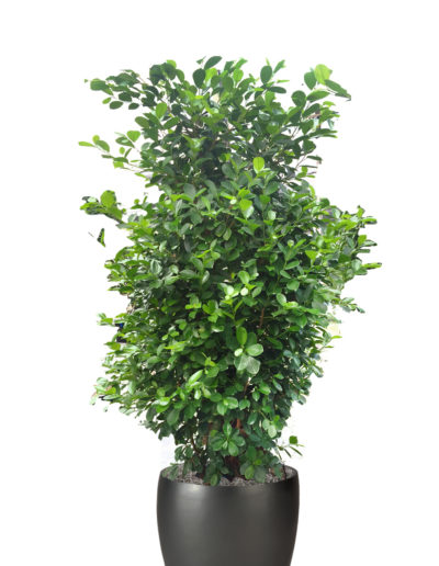 Ficus Monclame