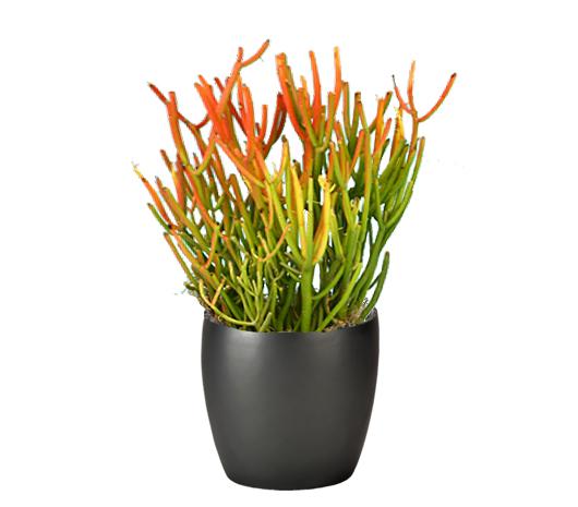 Firestick Plant