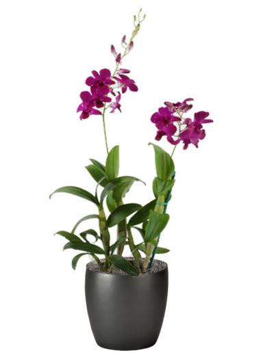 Orchid Dendrobium Dark Pink