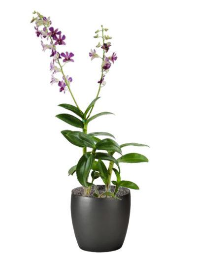 Orchid Dendrobium Purple White