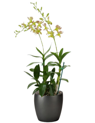 Orchid Dendrobium Yellow