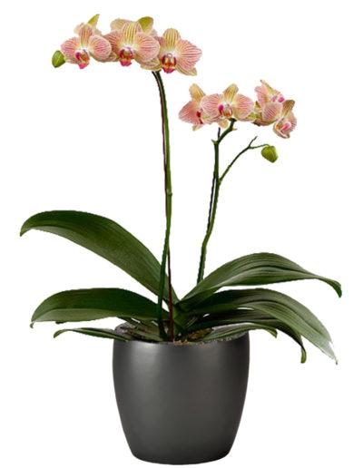 Orchid Kaleidoscope Double