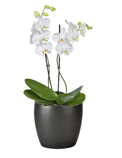 Orchid Phaleonopsis Double White