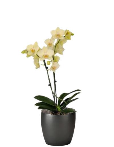 Orchid Phaleonopsis Yellow