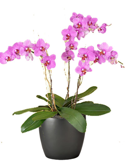 Orchid Pink Triple
