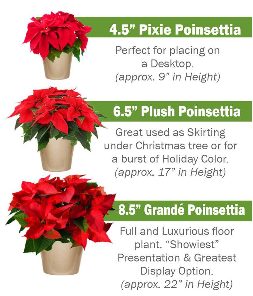 A Better Poinsettia Heroman Services Plant Company