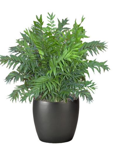 Palm Neanthe Bella