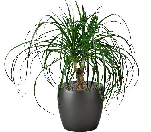 Palm Ponytail Destin FL