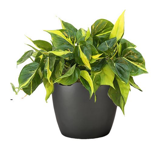 Philodendron Brasil Mobile, AL