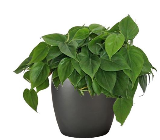 Philodendron Green Panama City FL
