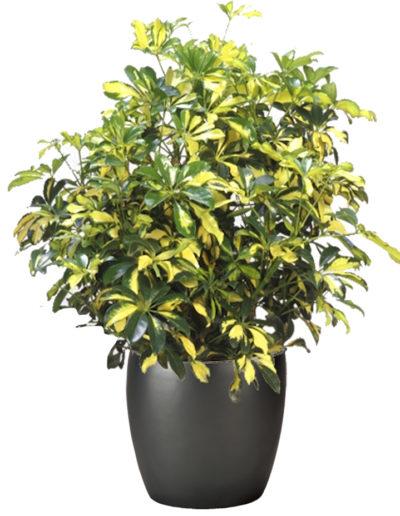 Shefflera Arboricola Gold Capella