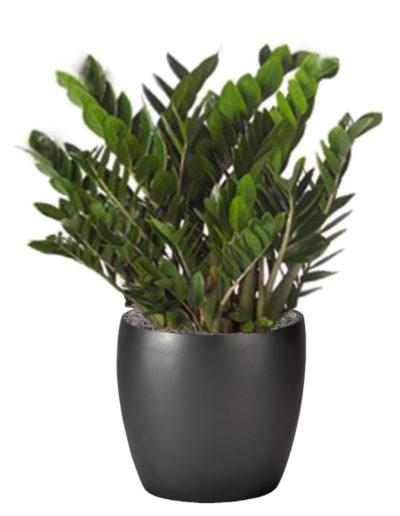 ZZ Plant Large
