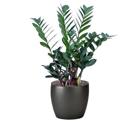 ZZ Plant Pensacola